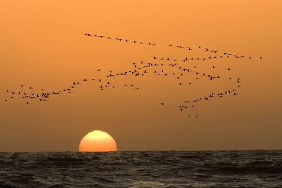 Flamingo Flock in Flight at Sunset over the Atlantic--Photographic Print
