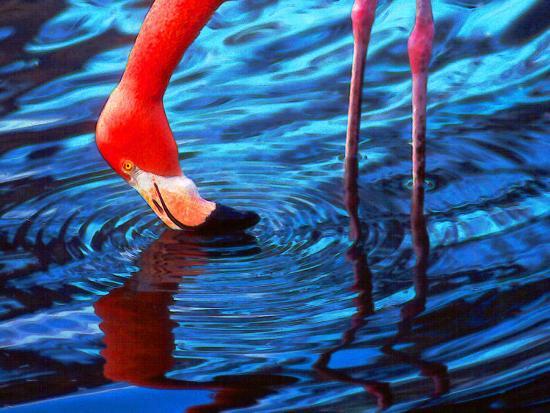 Flamingo, Florida-Pat Canova-Photographic Print