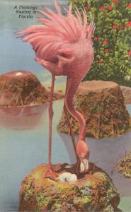 Flamingo Nesting in Florida