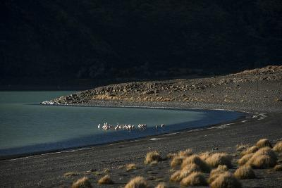 Flamingo on Blue Lake, Torres del Paine, Patagonia, Magellanic, Chile-Pete Oxford-Photographic Print