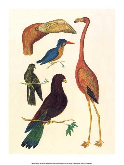 Flamingo, Pigeons, Doves & Kingfisher (1734-1765)-Albertus Seba-Art Print