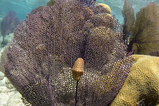 Flamingo Tongue on Common Sea Fan, Lighthouse Reef, Atoll, Belize-Pete Oxford-Photographic Print