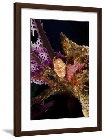 Flamingo Tongue Snail on Coral, Key Largo, Florida-Stocktrek Images-Framed Photographic Print
