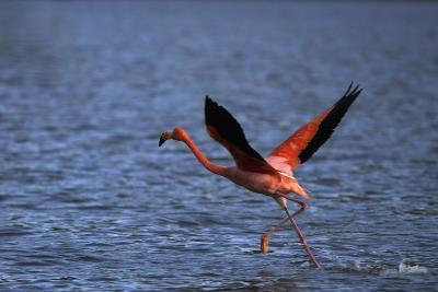 Flamingo Wading through Water-DLILLC-Photographic Print