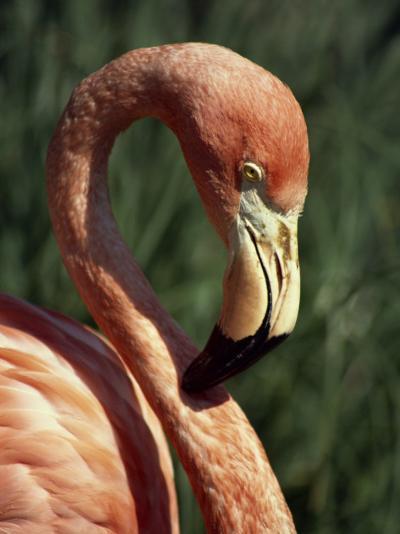Flamingo-Steve Bavister-Photographic Print