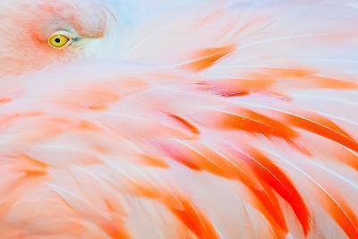 Flamingo-Tom Winstead-Photographic Print