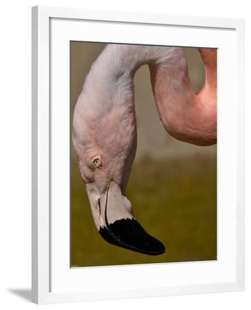 Flamingo-Gordon Semmens-Framed Photographic Print