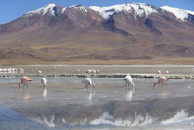 Flamingoes at Laguna Adeyonda on Altiplano, Potosi Department, Bolivia, South America-Ian Trower-Photographic Print