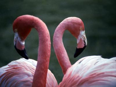 Flamingoes at Western Underwood Zoo, December 1979--Photographic Print