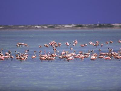 Flamingoes, Bonaire-John Dominis-Photographic Print
