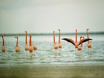 Flamingoes in the Water-James L^ Stanfield-Photographic Print