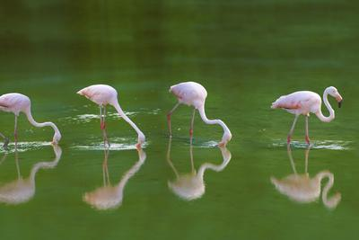 https://imgc.artprintimages.com/img/print/flamingoes-in-water_u-l-pzrk970.jpg?p=0