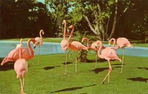 Flamingos at Zoo, San Diego, California