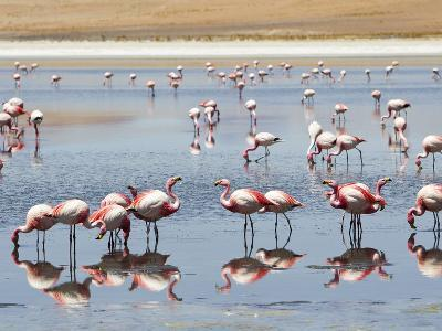 Flamingos Feeding at a Lagoon in Bolivia's Southwest Altiplano-Mike Theiss-Photographic Print