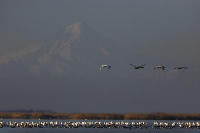 Flamingos Flying over and Resting in Gorgan Bay. Mount Damavand Volcano in the Background-Babak Tafreshi-Photographic Print