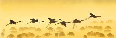 Flamingos Landing, Kenya--Photographic Print