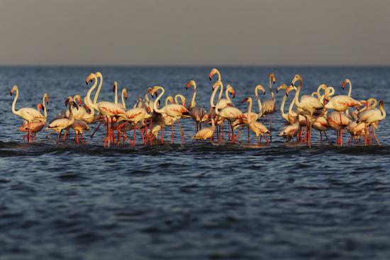Flamingos on Lake Turkana Outside Elyse Springs-Randy Olson-Photographic Print