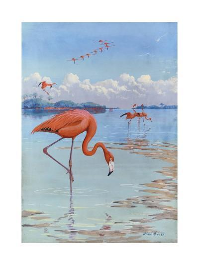 Flamingos Wade in Shallow Tropical and Subtropical Waters-Allan Brooks-Giclee Print