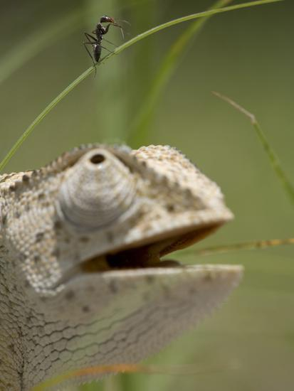 Flap Necked Chameleon Stares Up at Nearby Ant in Tall Grass, Caprivi Strip, Namibia-Paul Souders-Photographic Print