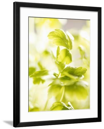 Flat-Leaf Parsley--Framed Photographic Print