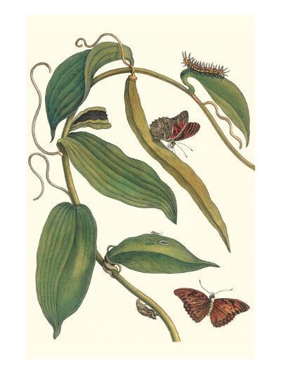 Flat-Leaved Vanila Plant with a Gulf Fritillary-Maria Sibylla Merian-Art Print