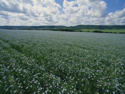 Flax Field, Saskatchewan, Canada-Michael S^ Lewis-Photographic Print