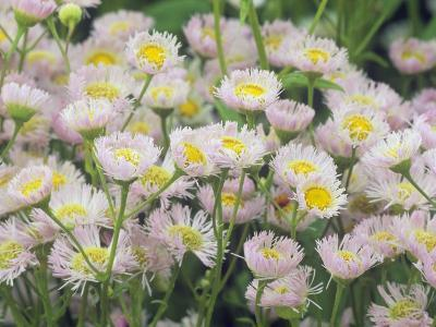 Fleabane Daisy Flowers, Erigeron Philadelphicus, North America-Adam Jones-Photographic Print
