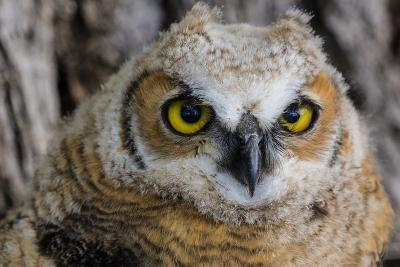 Fledgling Great Horned Owl Portrait in Cottonwood, South Dakota, Usa-Chuck Haney-Photographic Print