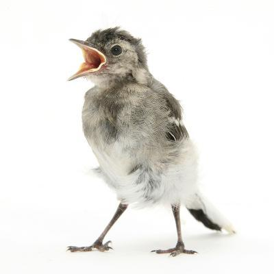 Fledgling Pied Wagtail (Motacilla Alba) Portrait Standing Upright and Calling-Mark Taylor-Photographic Print