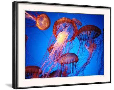 Fleet of Golden, Long-Tentacled Jellyfish, California-Sisse Brimberg-Framed Photographic Print