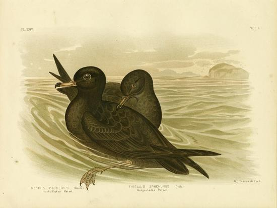 Fleshy-Footed Petrel, 1891-Gracius Broinowski-Giclee Print