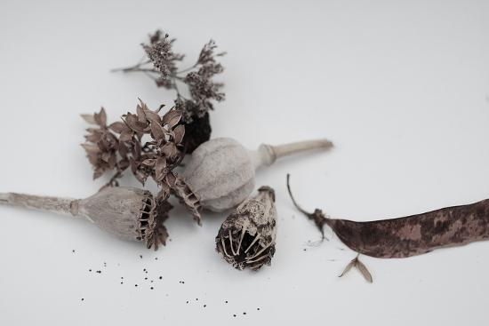 Fleurs de pavot séchées.-Angela Marsh-Photographic Print