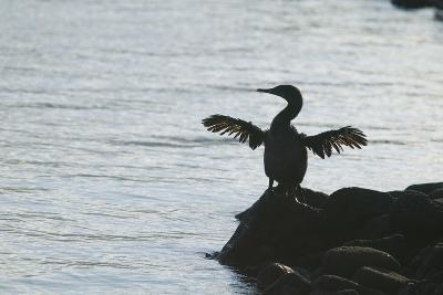 Flightless Cormorant Drying out Wings-DLILLC-Photographic Print