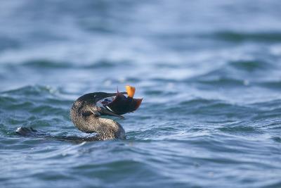 Flightless Cormorant Eating a King Angelfish-DLILLC-Photographic Print