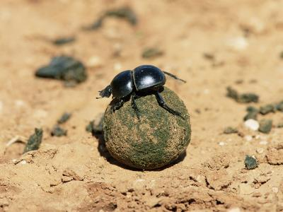 Flightless Dung Beetle Rolling Brood Ball, Addo National Park, South Africa, Africa-Ann & Steve Toon-Photographic Print
