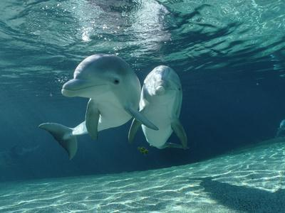 Bottlenose Dolphin (Tursiops Truncatus) Underwater Pair, Hawaii