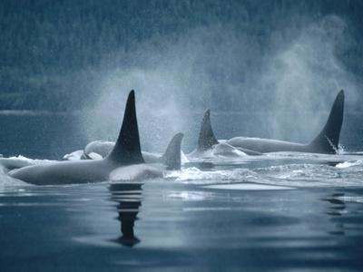 Orca (Orcinus Orca) Group Surfacing, Johnstone Strait, British Columbia, Canada