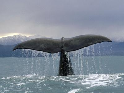 Sperm Whale (Physeter Macrocephalus) Tail, New Zealand