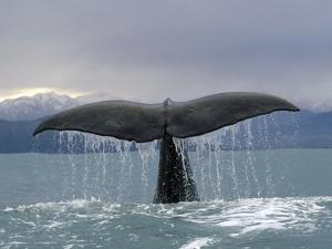Sperm Whale (Physeter Macrocephalus) Tail, New Zealand by Flip Nicklin/Minden Pictures