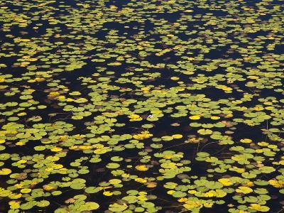 Floating Lilypads in Autumn Colors-Michael Melford-Photographic Print