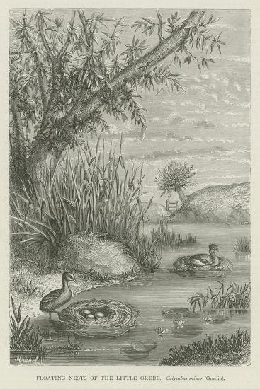Floating Nests of the Little Grebe--Giclee Print
