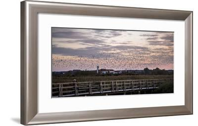 Flock of Birds, Glaucomas over the Federsee (Lake) at Bad Buchau (Village), Germany-Markus Leser-Framed Photographic Print