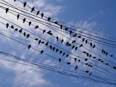 Flock of Birds Lined up on Overhead Wires-Pablo Corral Vega-Photographic Print