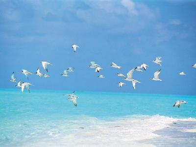Flock of Birds Migrating Over Seascape--Photographic Print