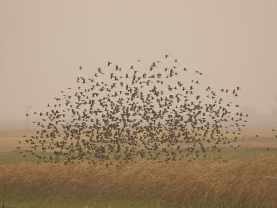 Flock of Birds Swarming a Field in North Dakota-Phil Schermeister-Photographic Print