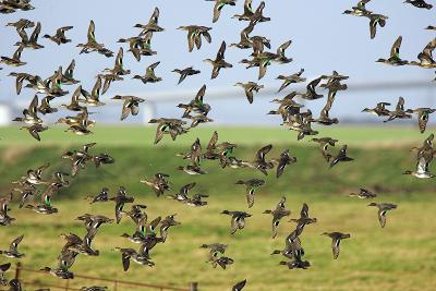 Flock of Common Teal-Duncan Shaw-Photographic Print