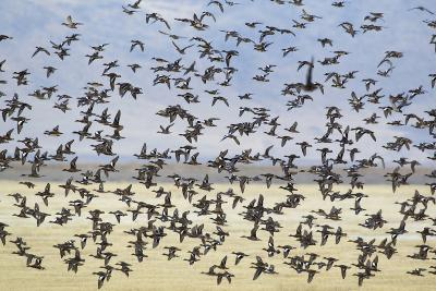 Flock of Ducks, Mallards, Pintails and Widgeons-Ken Archer-Photographic Print