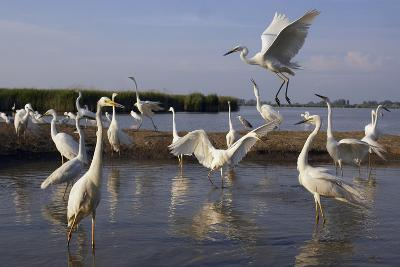 Flock of Great Egret (Ardea Alba) at Water, Pusztaszer, Hungary, May 2008-Varesvuo-Photographic Print