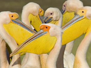 Flock of Great White Pelicans, Lake Nakuru, Kenya