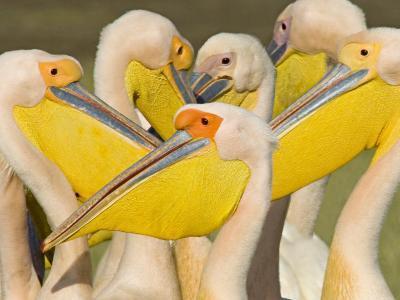 Flock of Great White Pelicans, Lake Nakuru, Kenya--Photographic Print